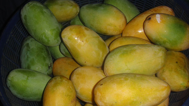 mangue egypte
